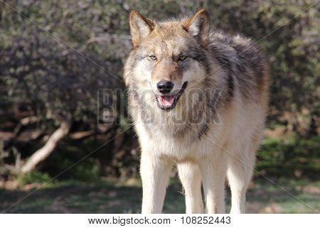 Alaskan Gray Wolf Male