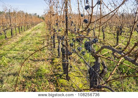 Cabernet Sauvignon Red Wine Grapes Hanging on the Vine in Late Fall