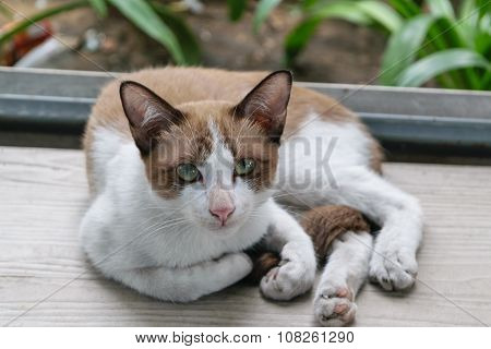 Thai Cute Cat