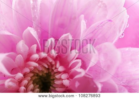 Tender pink chrysanthemum, macro poster