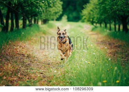 German Shepherd Stick Chewing Outdoor