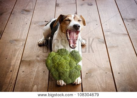 Jack russell terier dog lying with the broccoli. Organic dog food. Dog diet. Vegetable for dog.
