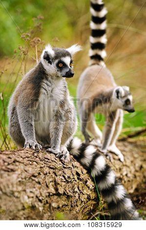 Portrait Of Lemur Katta (lemur Catta)