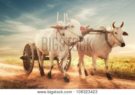 Two White Asian Oxen Pulling Wooden Cart On Dusty Roasd. Myanmar