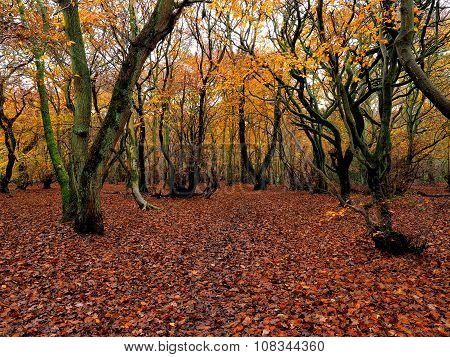 Carpet of Autumn leaves in a Forest