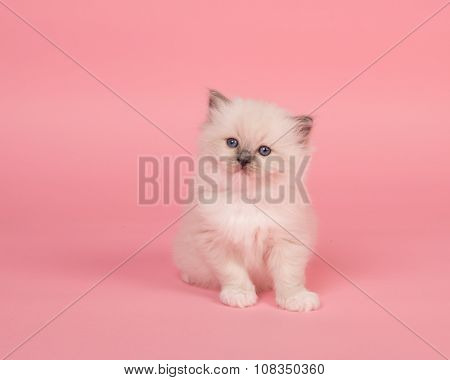 Cuddly rag doll kitten