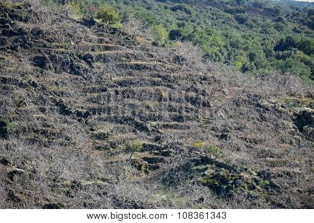 the heroic agriculture of sicilian terraced slopes where they grow the twisted pistachio plants that lose their leaves in winter