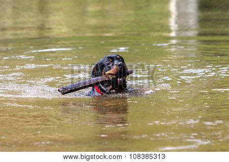 Portrait Of Purebred Male Rottweiler In A River