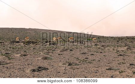 Family Group Of Vicuna