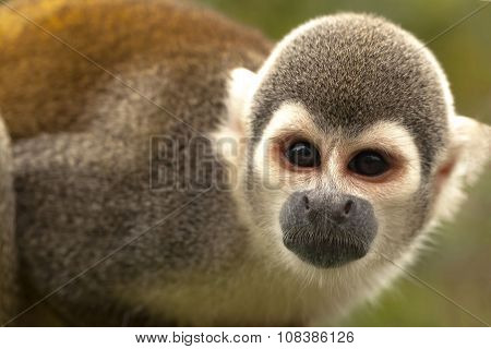 Portrait Of Cute Small Common Squirrel Monkey