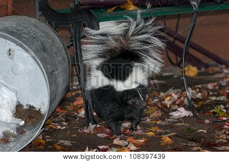 Striped Skunk (mephitis Mephitis) Stands Near Dumped Trash Can