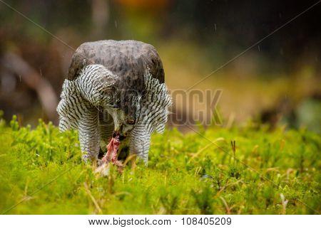A male Goshawk feeding on young rabbit in forest.