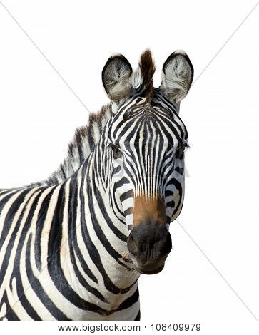 Zebra On White Background