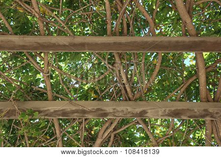 Overhead branches of Pergola in Ojai, CA