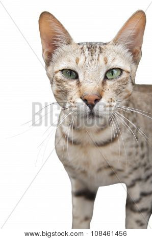 A Feral Cat in India Isolated on White poster