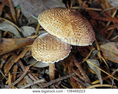 Chestnut Dapperling - Lepiota castanea