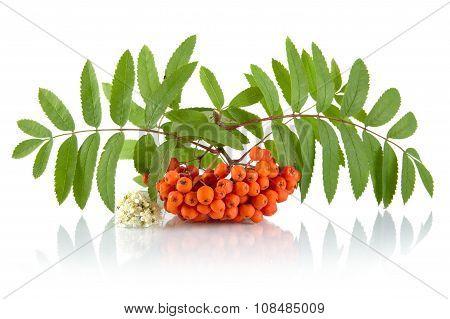 Orange Rowanberry With Flower Isolated On White Background