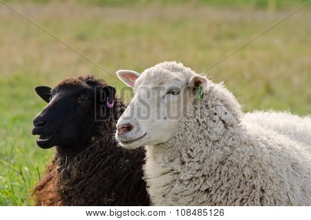 Black And White Sheeps