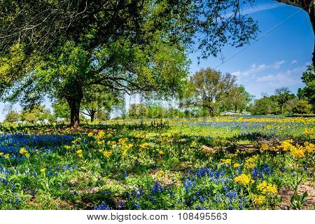 A Wide Angle View of a Beautiful Field Blanketed with a Wide Variety of Famous Texas Wildflowers