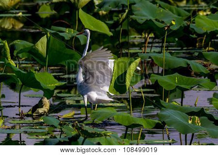 A Beautiful Great White Egret on 40 Acre Lake at Brazos Bend, Texas