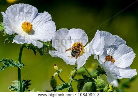 Closeup of a Honey Bee on a Bright and Beautiful White Prickly Poppy (Argemone albiflora) Wildflowers Blossoms with their Paper-like Petals Growing Wild in a Texas Field or Meadow. poster