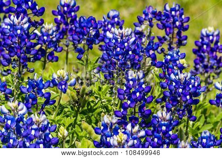 A Beautiful Closeup of a Cluster of the Famous Texas Bluebonnet (Lupinus texensis) Wildflowers. poster