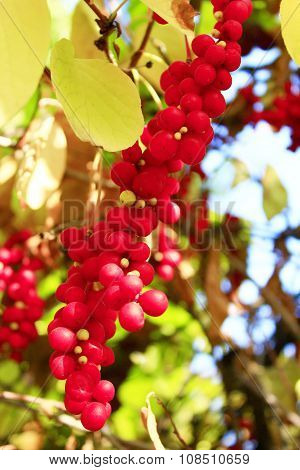 Branches Of Red Ripe Schisandra