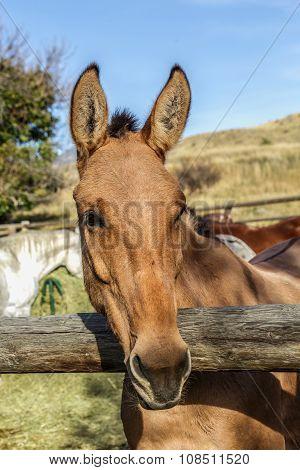 Lineback Dun Horse