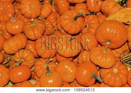 Small Orange Pumpkins Washington