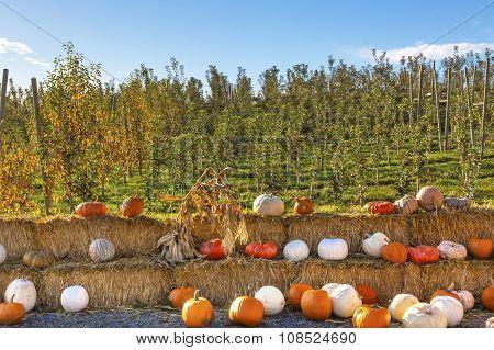 White Orange Yellow Pumpkins Squash Garden