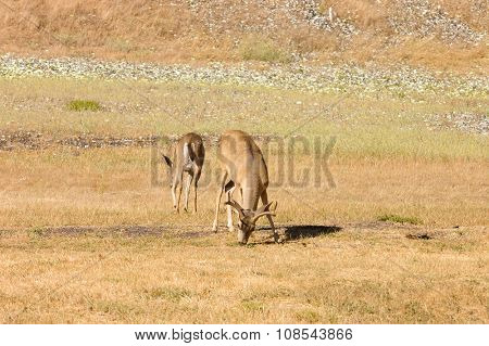 Western Black tailed deer grazing in a field used for trap shooting