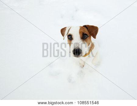 Dog at snow. Pappy at winter