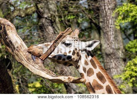 Rothschild's Giraffe Licking The Tree Branch, Animal Portrait