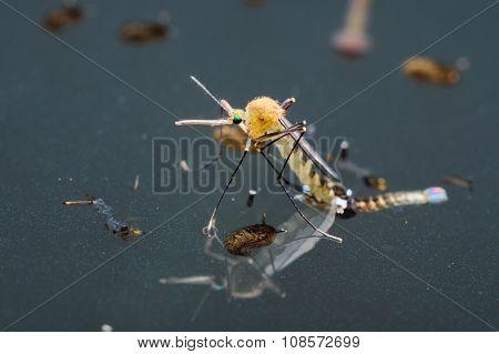 Common house mosquito (Culex pipiens)