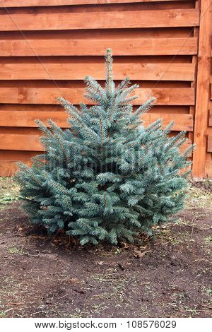 Little Young Fluffy Blue Spruce On Background Of Wooden Fence