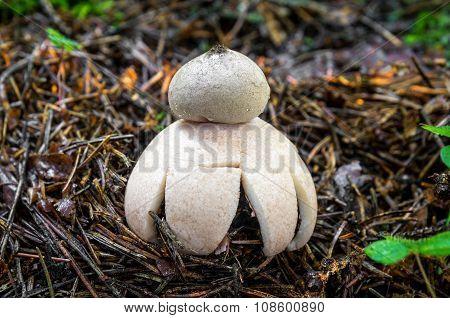 Geastrum Rufescens