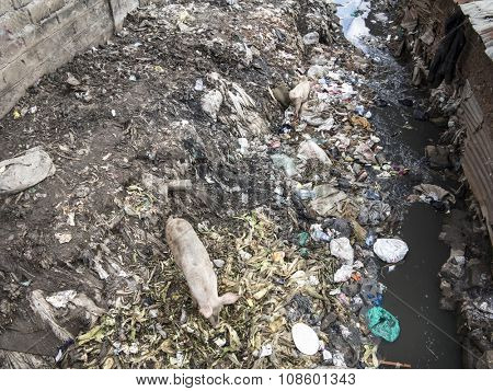 View of large amounts of pollution and pigs in slum in Africa.