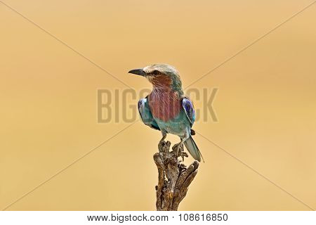 Kingfisher In The Savannah