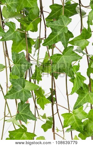 Common Ivy Vine And Leaves Close Up
