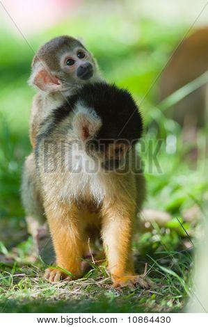 Cute Squirrel Monkey