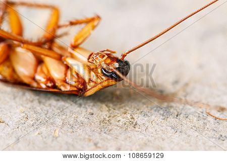 Closeup Dead Cockroaches On Wooden Floor background.