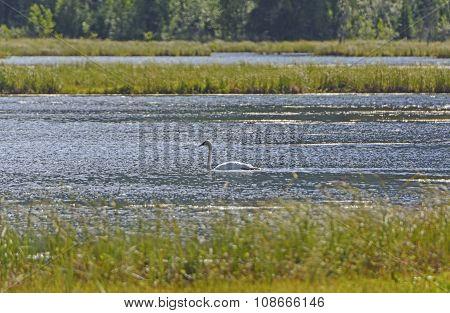 Trumpeter Swan On A Wetland Pond