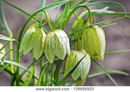 Checkerboard Fritillaria (Fritillaria meleagris)