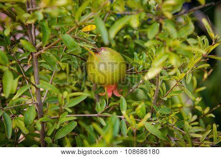 Botanical garden Jardin Majorelle in Marrakesh (Morocco) - pomegranate poster