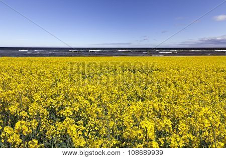 A yellow rapeseed field, this side the sea.
