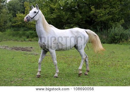 Beautiful View Of An Arabian Horse On Natural Background