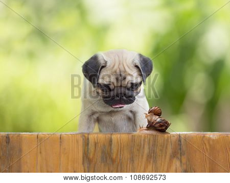 the puppy pug is watching as a large snail carries little snail on the wooden fence