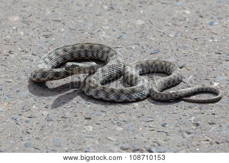 Snake On The Pavement
