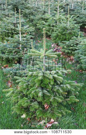 Nordmann fir plantation in Denmark during the cutting season poster