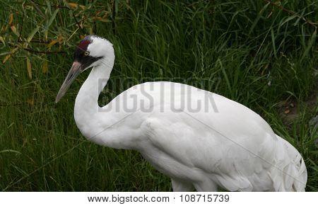 Whooping crane profile